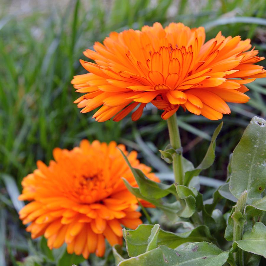 botanical-calendula